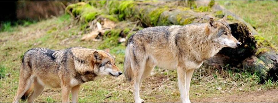 Wölfe, © Wildpark Eekholdt